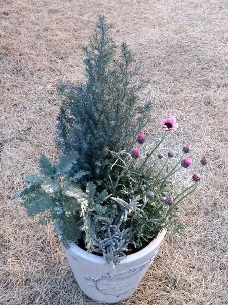 シルバーリーフの寄せ植えをリメイクしました。