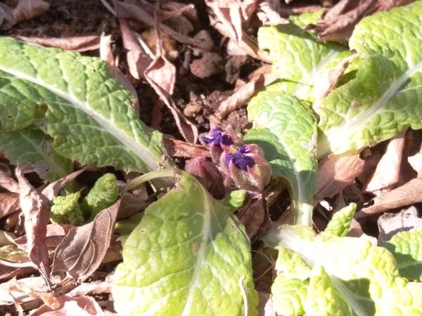 プリムラ ジュリアン  寄せ植えの後、昨年春に庭に植えたものです。 蕾が見えてきまし
