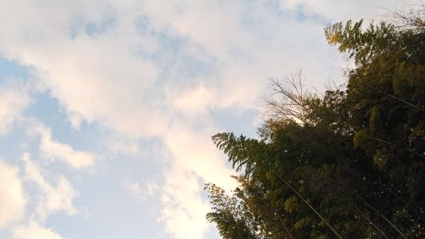 1/24 夕方🌆  近所の竹です。風がすごくてぶつかり合って、ビシバシと音を鳴らすんです