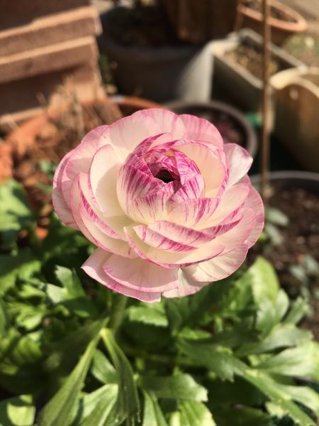 ラナンキュラス 大きなお花の後に咲いた小さなラナちゃん