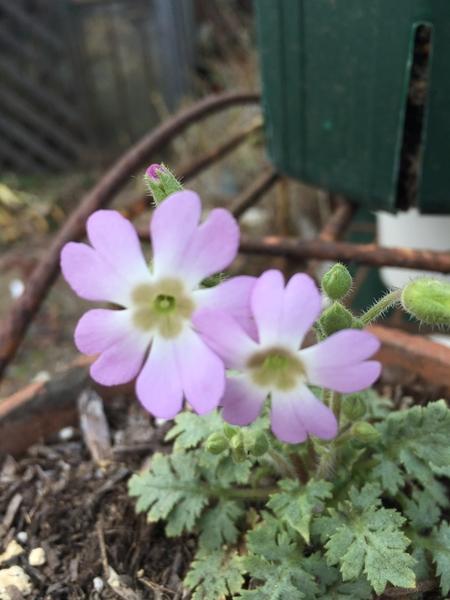 ピンクペッパーさんに頂いた溢れっこの雲南サクラソウが咲きました。