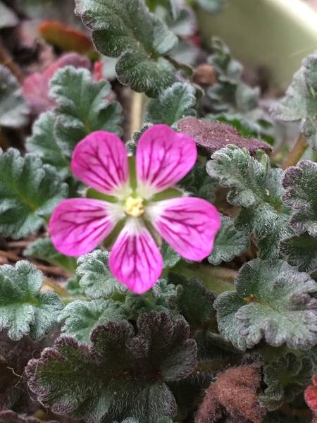 ヒメフウロソウ 愛らしい小さなお花です