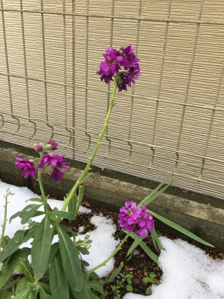 雪の下に過ごして、雪を溶けての様子✨凛としている姿🌻2月3日撮影