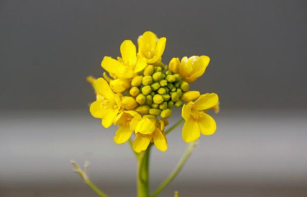 ナノハナ(菜の花) 別 名:アブラナ(油菜) アブラナ科アブラナ属 田んぼのあぜ道で