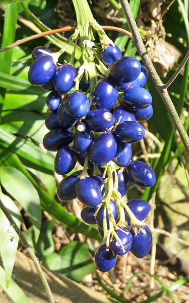 ノシラン(熨斗蘭) ユリ科ジャノヒゲ属 実った藍色の実が輝く姿は、散歩道の真珠です