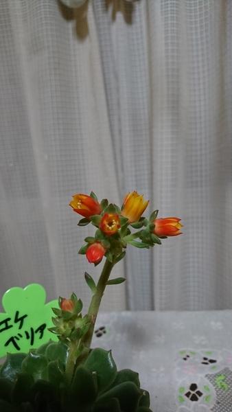 100円 で購入した うちの子の子エケベリア 花が 開き始めました🎉🎉