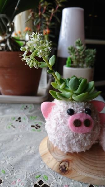 豚さんに白い花が咲きました