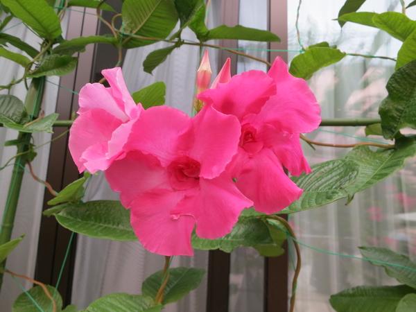 八重咲きのマンデビラピンクパフェが咲いています。