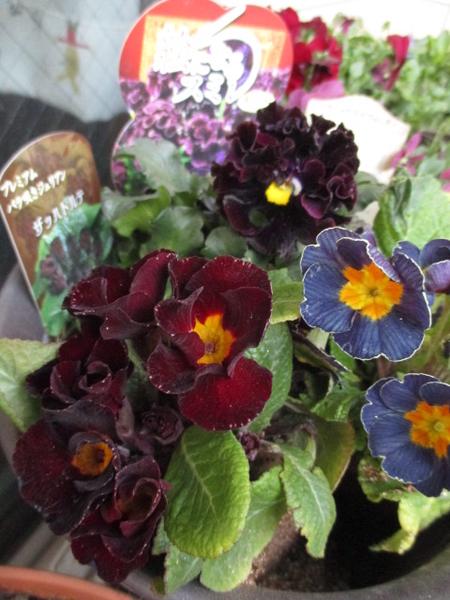 昨日横浜の園芸店で買った3種の花の苗。 ◎絵になるスミレ・ミュール(パンジー) ◎アン
