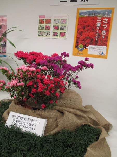 「第67回関東東海花の展覧会」より三重県展示。 2.3撮影。