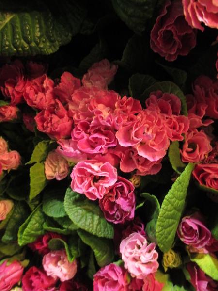 日記で東京都を彩っていた花…正解はコチラ! 薔薇咲きのプリムラでした。 2.3撮影。