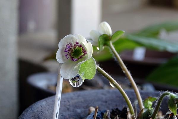 久しぶりにK氏宅を訪れてみた。 一鉢だけ、真っ白な雪割草が咲いていた。  ユキワリ