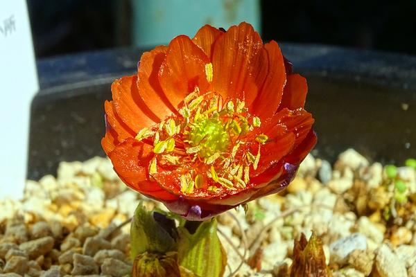 花びらの色、とても印象的!  チチブベニ(フクジュソウ) 秩父紅(福寿草:キンポウ