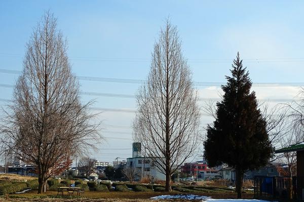 澄んだ空!  メタセコイア (ヒノキ(スギ)科メタセコイア属の落葉樹) 撮影地:市内
