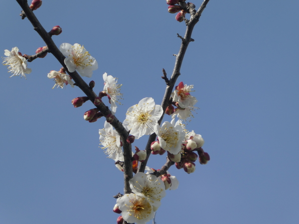 白い梅の花 花言葉は~ 気品!
