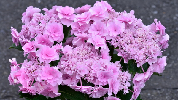 紫陽花 鉢植え