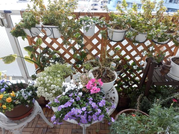 2月4日、水をやりすぎたのか、葉っぱの上の水を放置したせいか、カランコエに白い物