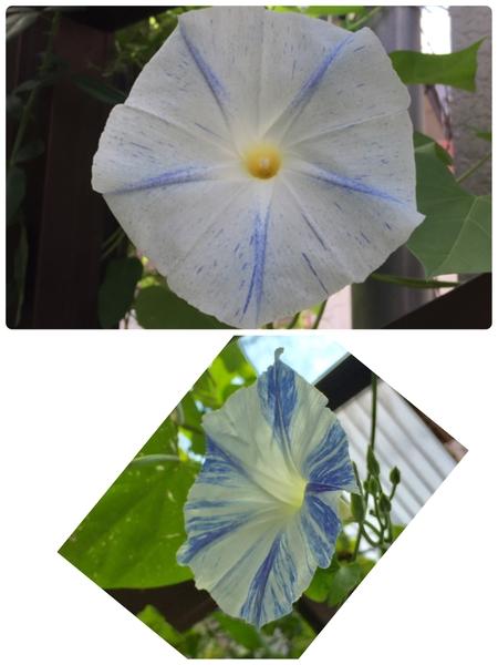 アサガオの写真 by 染ちゃん 朝顔  種まきからの朝顔が今日初めて咲きました。