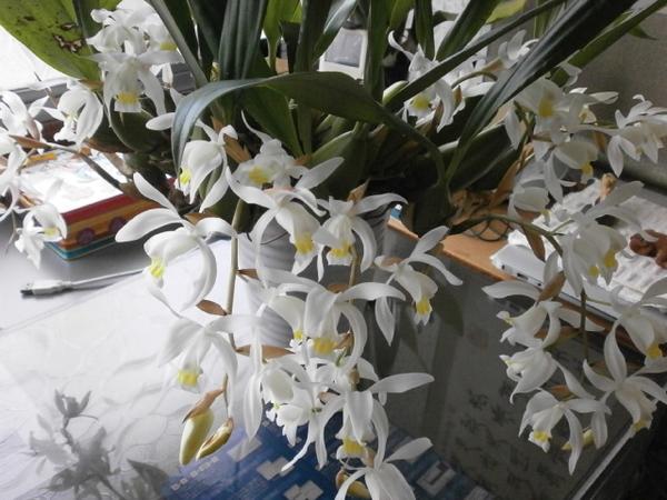 2月4日撮影。セロジネインターメディア。7本の花茎。花茎はあまり伸びずに、2本で