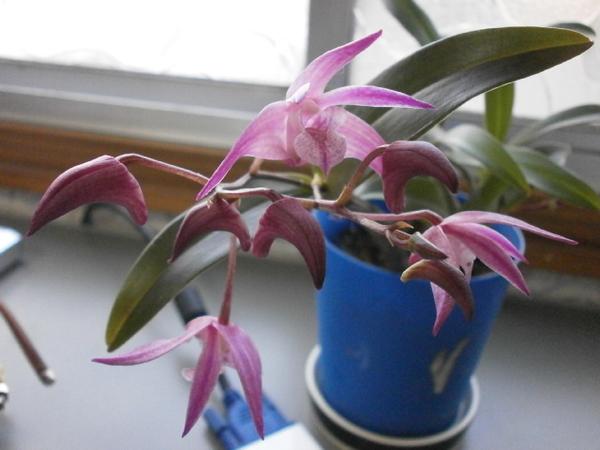 キンギアナム`趣'親株はまだ花が見えないが、取り芽した小さい株に花。