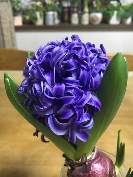 青いヒアシンス(^-^) ずんぐりしていますが、1番元気そうです😺 香りも1番強いです(^-^