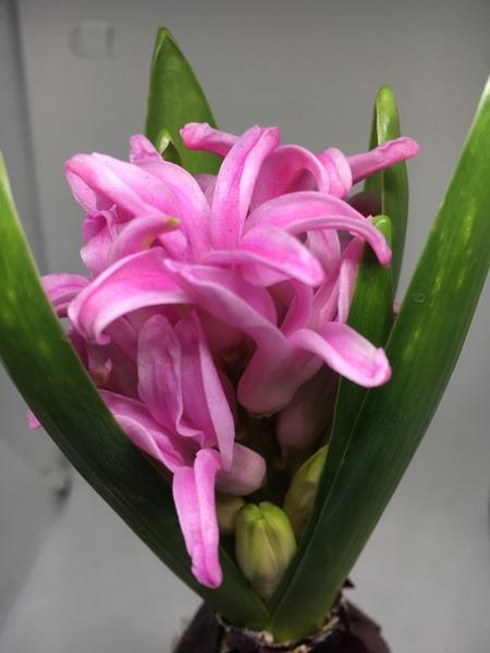 こちらは、以前咲いていたピンクのヒアシンスの2番花❓です。最初に咲いていたヒアシ