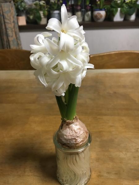スラーっとした白いヒアシンス🌼 香りが良いですね(^-^)