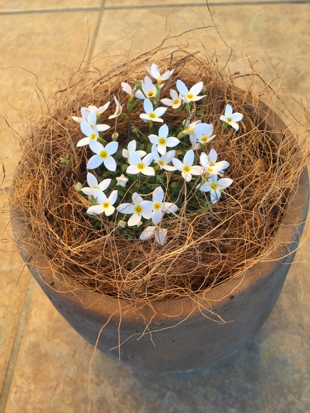ヒナソウ 以前、うす紫のヒナソウを植えていたので今度は白にしてみました。 小さくて
