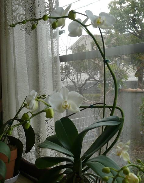 コチョウラン(胡蝶蘭)の写真 by はなの天使 真っ白な蘭です 根が出ている方が元気み