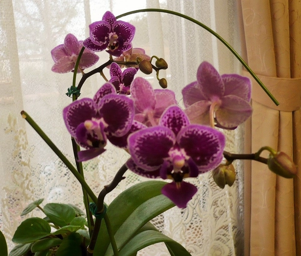 コチョウラン(胡蝶蘭)の写真 by はなの天使 2年目のお花です。綺麗に咲いてくれまし