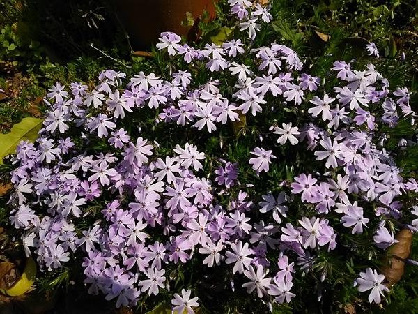 芝桜 パープルビューティー 淡い紫の花が好き~⤴