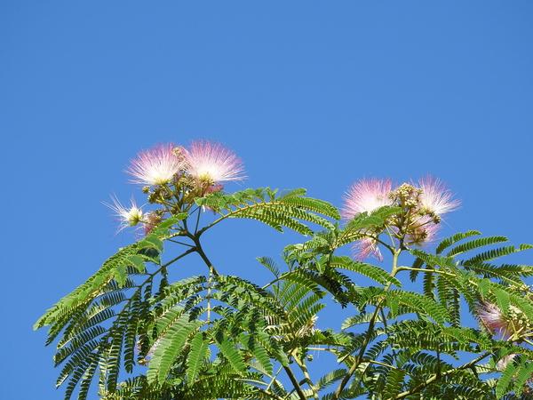 ネムノキの写真 by あけマサ ネムノキの花が咲いてきました。 柔らかそうなふわふわの