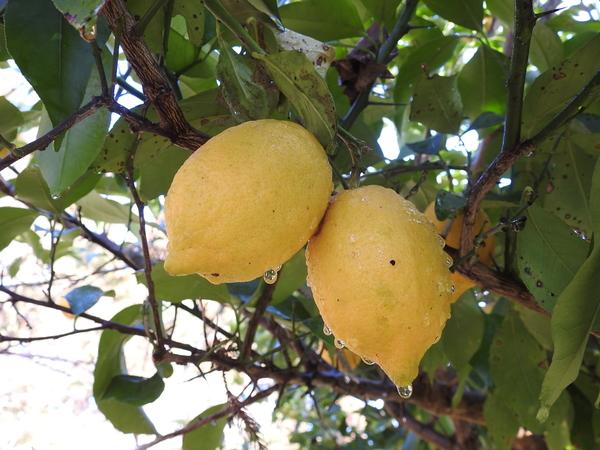 ミカン畑に1本のレモンの木が… たくさんの実がなっていました。  2018.2.2