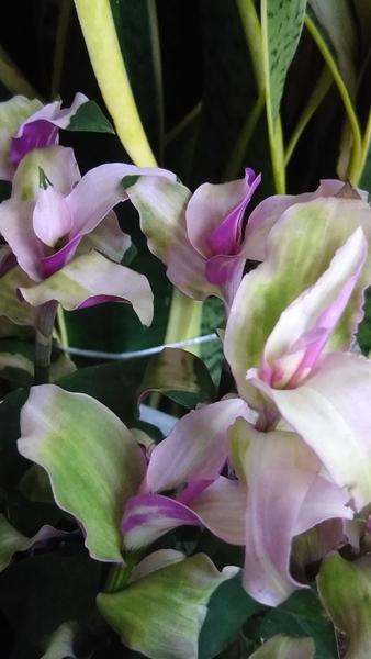 トラデスカンチア 花の少ない今、葉の彩りが嬉しいです💕
