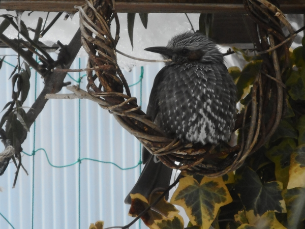 真冬日の今日は、羽根に空気をいっぱい入れて温かくね。 ふっくらヒヨさんです🐤