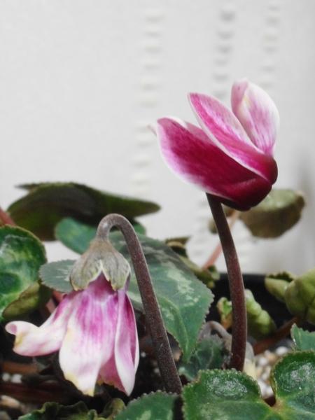 去年の半分ほどの小さなお花が咲きました♡