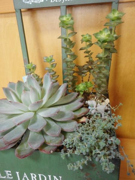 寄せ植え。 去年の9月に作ってから5カ月、少し大きくなったり、 徒長したり・・・。