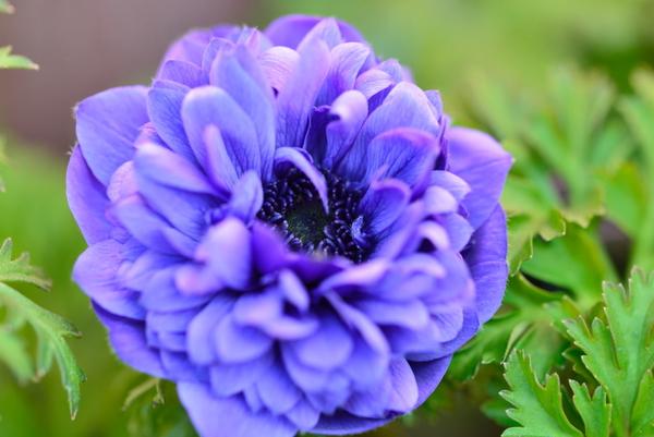 アネモネ 凜々花 ブルー