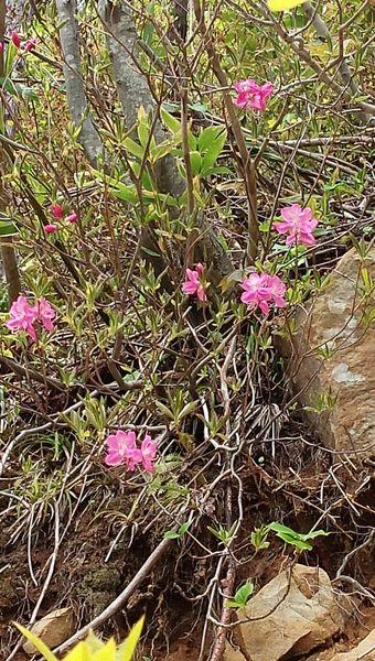 崖には、ヤマツツジ(正式名は知りません)も咲いています。