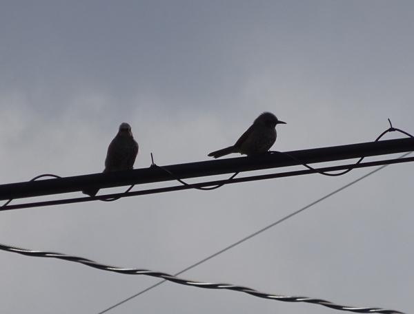 電線にとまる、ヒヨドリのシルエット(逆光) 2月5日。
