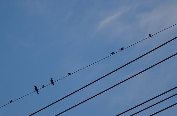 電線にとまる、ヒヨドリとスズメたち。エサが目の前にないと、ヒヨも追っ払ったりしな