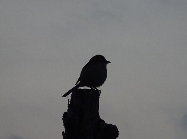 激しく尾を上げ下げして、高鳴きするモズりん ♀ 野生の一面を見た気がした。 2月9日