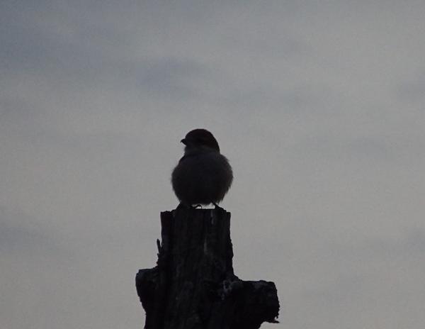 激しく尾を上げ下げして、高鳴きするモズりん ♀ 2月9日。