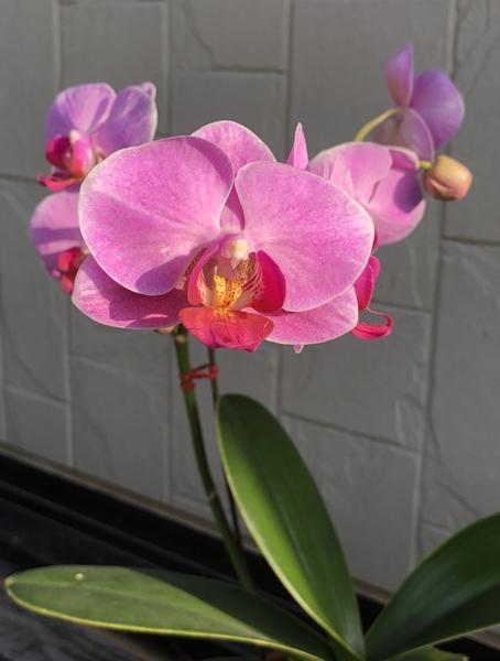 コチョウラン(胡蝶蘭)の写真 by ゆらこ コチョウラン 先端の蕾がやっと咲きました。