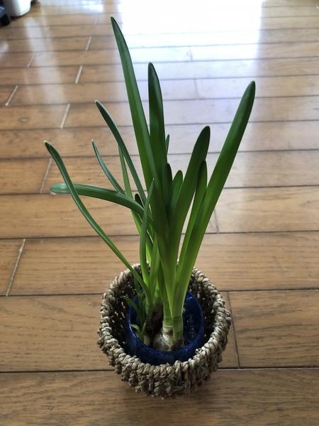 スイセン      先日土から掘り上げて室内にて水栽培中のスイセン    花芽が上がって来