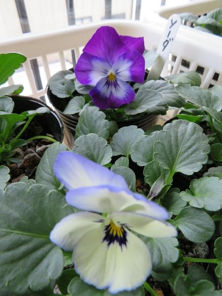 種まきパンビオ  1月18日  よく咲くスミレの、ソーダに  こいブルーの 花が咲きました