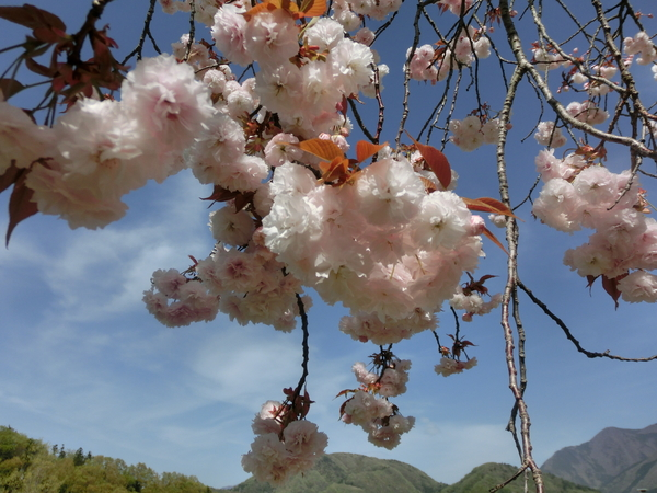 八重桜 (…としか判りません) (4/12)