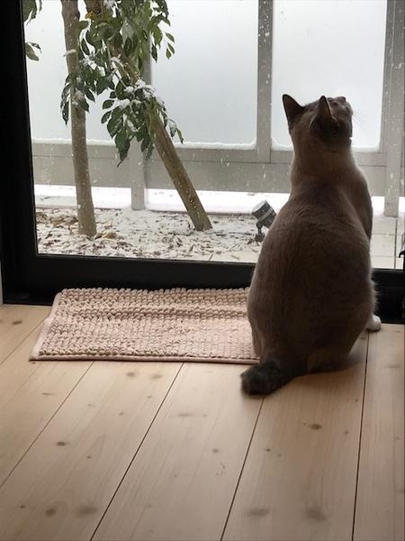 シマトネリコも雪化粧。寒い日は、家の中でくつろぐのが一番です。