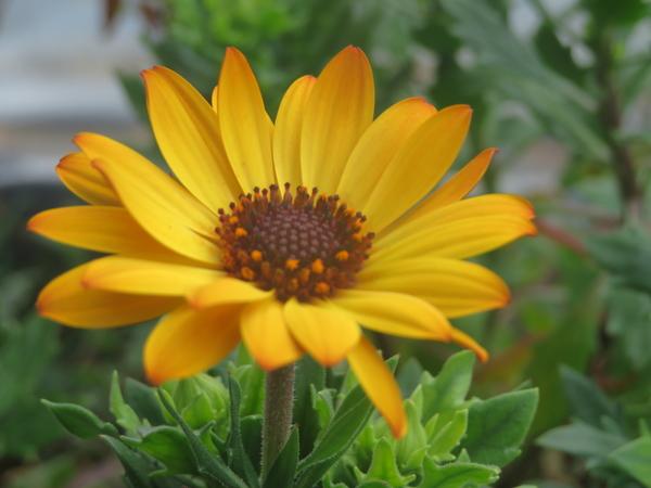 オステさん咲く。 去年2株買ってこの子は今年も咲いた。 ハウス内で