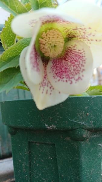実生クリスマスローズの初開花株です。これは白のシングルスポットでした。